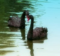 The first black swans I ever saw. I was stunned.