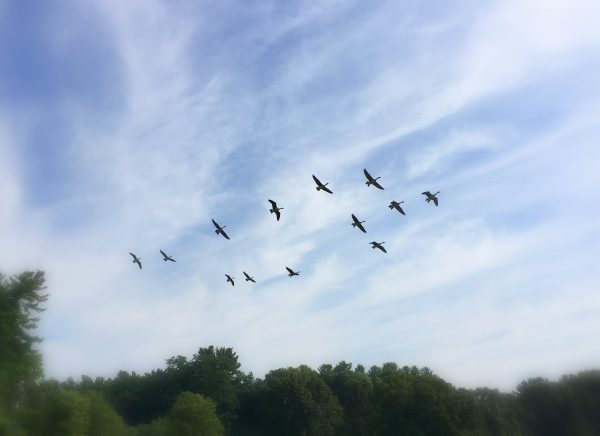 Image: Geese coming in for a landing, together.