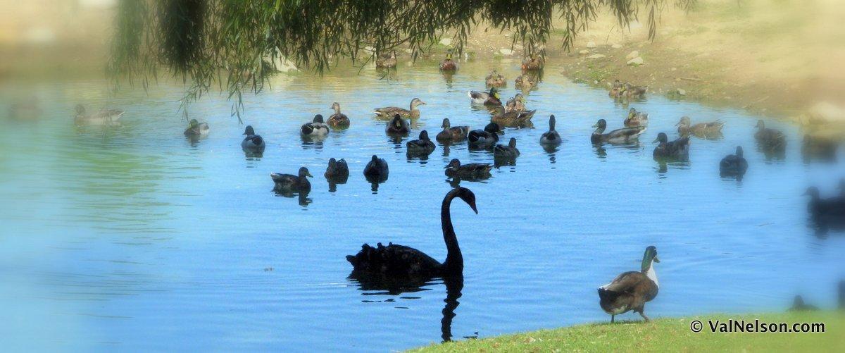 [image black swan with ducks]